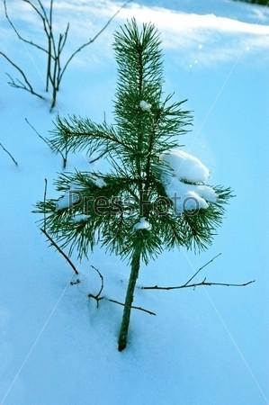 Молодая сосна в снегу