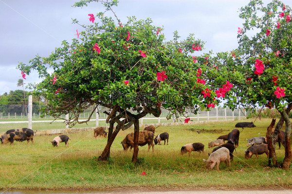 Свиньи едят траву под цветущими деревьями