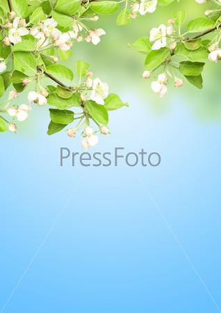 Фотография на тему Цветущая яблоня