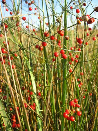 Красивое растение спаржа лекарственная, asparagus officinalis