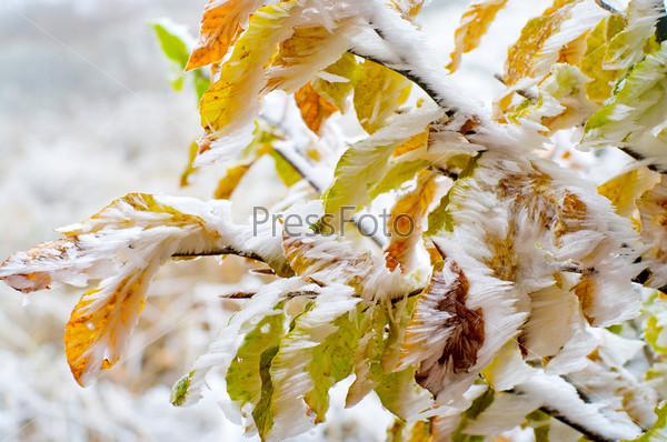 Красочные листья дерева, покрытые снегом