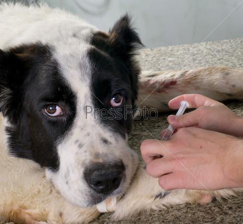 Ветеринар старит укол собаке