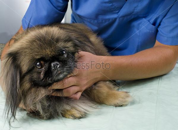 Фотография на тему Ветеринар осматривает пекинеса
