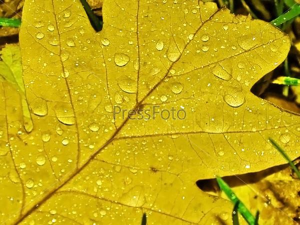 Дубовый лист с каплями дождя
