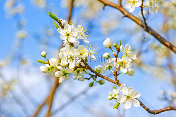 Фотография на тему Цветущая яблоня крупным планом. Малая глубина резкости