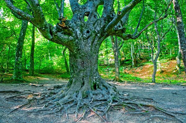 Старый ветвистый вечнозеленый буковый лес