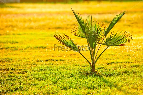 Фотография на тему Пальма на зеленой траве