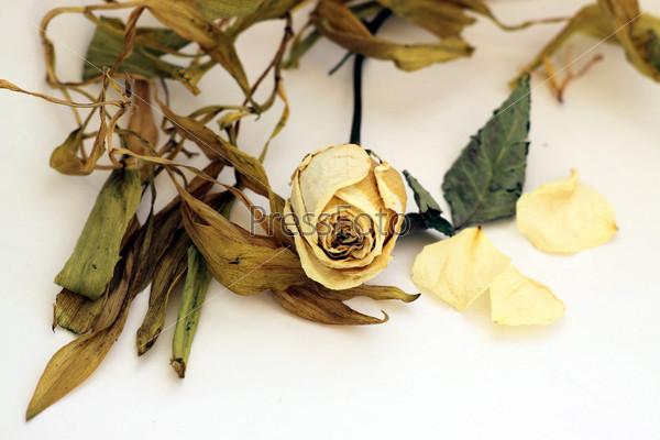 Засушенный цветок розы, лепестки, листья