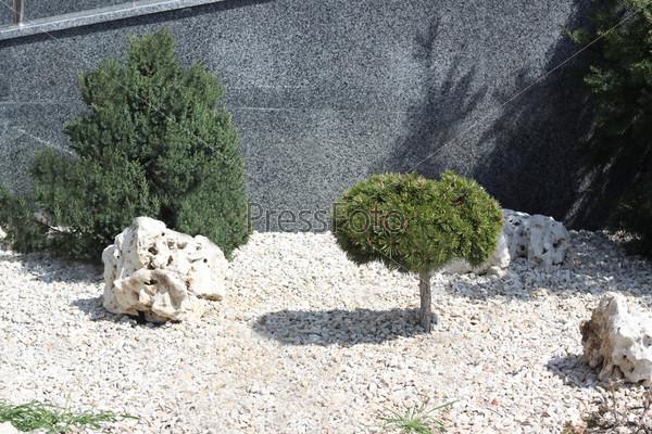 Маленькая сосна и камни. Хвойные деревья на улице города
