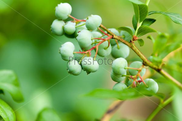 Фотография на тему Зеленая брусника на кусте
