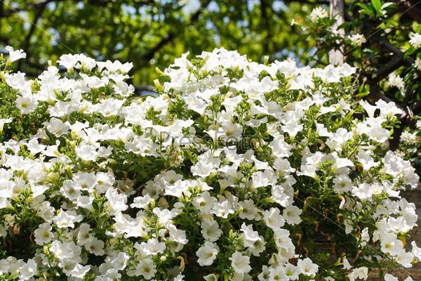 Фотография на тему Цветки белой петунии