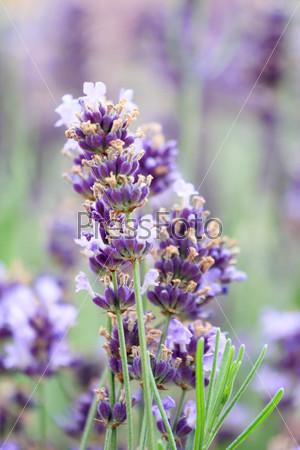 Цветки лаванды