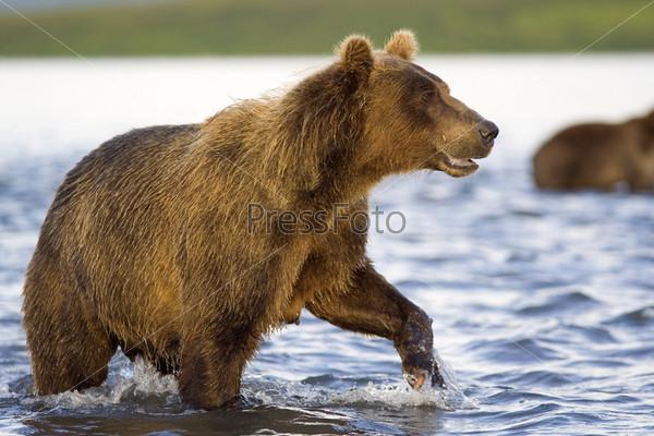 Бурый медведь, рыбак