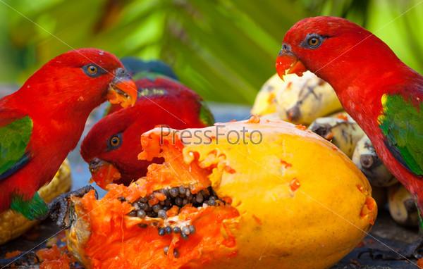 Фотография на тему Многоцветные лорикеты в яслях просят пищу. Манго