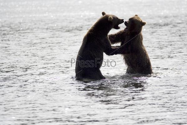 Борьба медведей