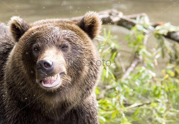 Фотография на тему Улыбка медведя