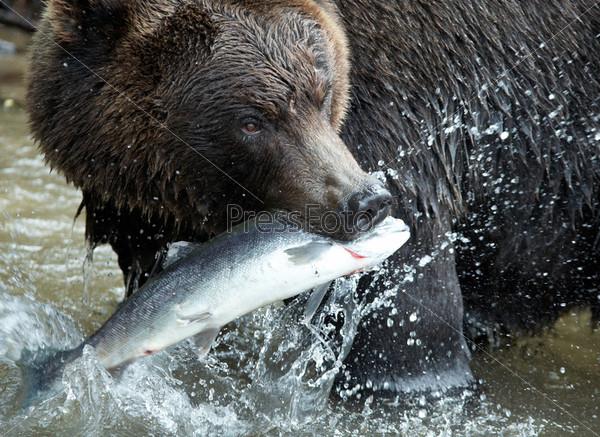 Бурый медведь, Камчатка