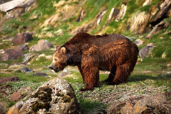 Бурый медведь, Камчатка, «Кроноцкий заповедник»