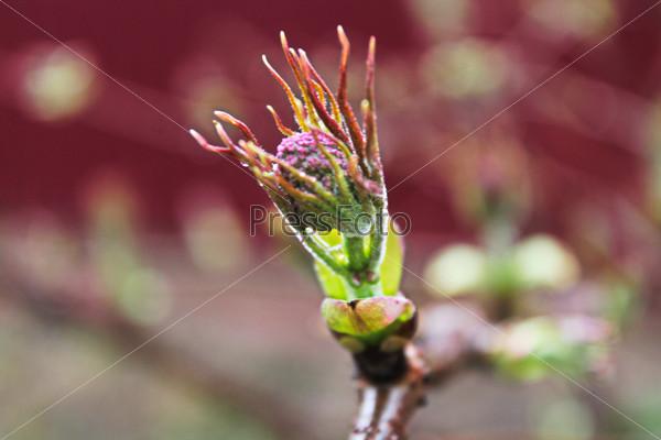Боярышник, весна