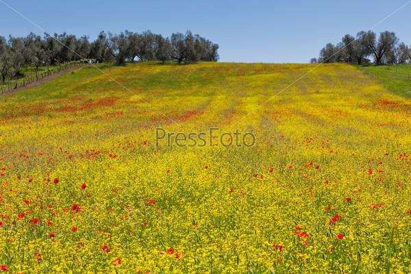 Зерновые и маки на лугу в солнечный день