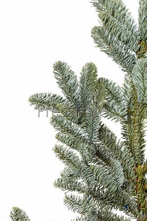 Фотография на тему Ветвь пихты на белом фоне
