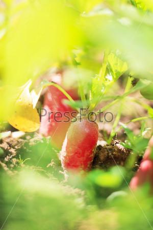 Красный редис на гряде
