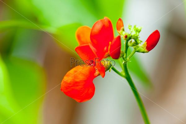 Цветущий боб