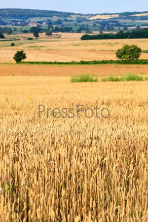 Фотография на тему Поля пшеницы