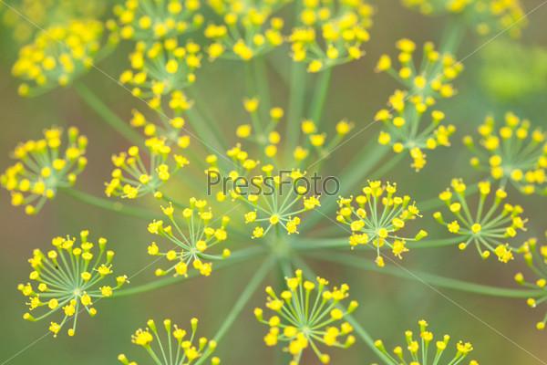 Фотография на тему Цветы укропа