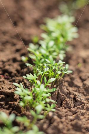 Фотография на тему Кресс-салат