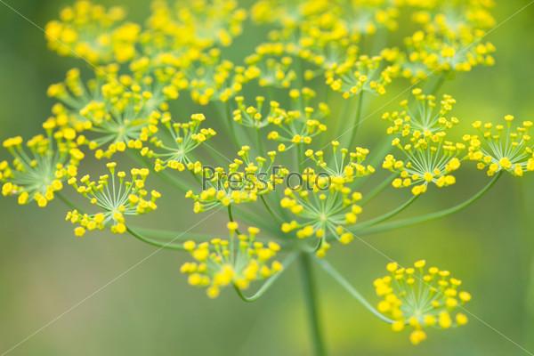 Цветы укропа