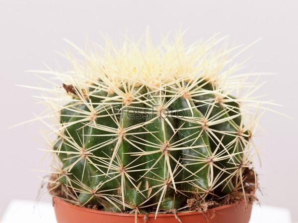 Фотография на тему Зеленый кактус в коричневом горшке