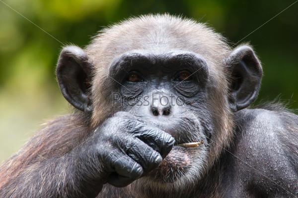 Шимпанзе в клетке