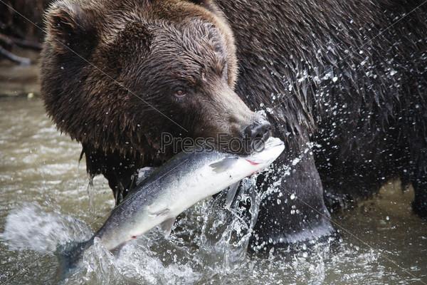 Бурый медведь со свежепойманным лососем