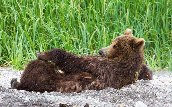 Самка бурого медведя