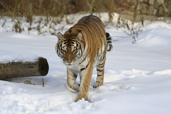 Фотография на тему Амурский тигр