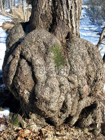 Дерево с необычными формами