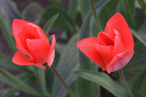 Фотография на тему Красные тюльпаны