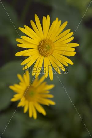 Желтая ромашка