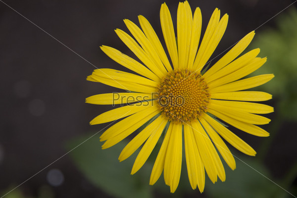 Фотография на тему Желтая ромашка