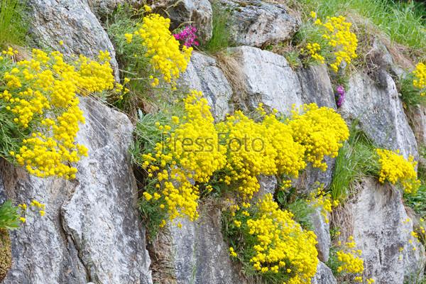 Желтые цветы между камнями