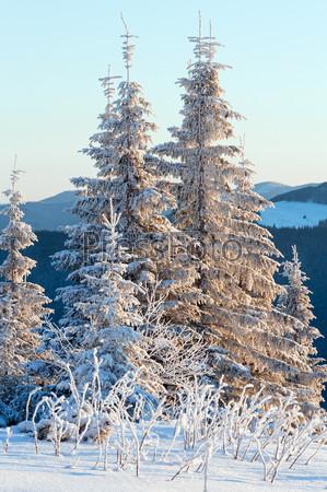 Зимние ели в первых утренних солнечных лучах