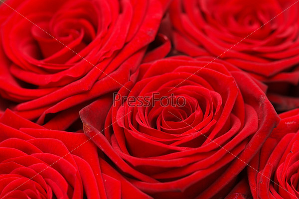 Фотография на тему Красивые розы