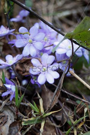 Красивые голубые подснежники