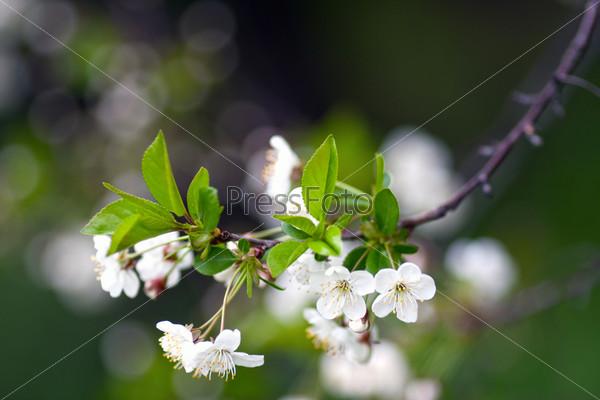Красивые вишневые цветы на зеленом размытом фоне