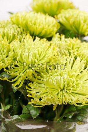 Фотография на тему Цветки хризантемы