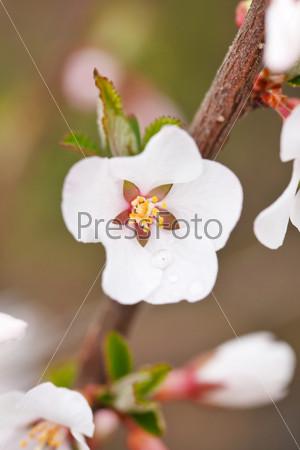 Фотография на тему Цветущая ветка вишни