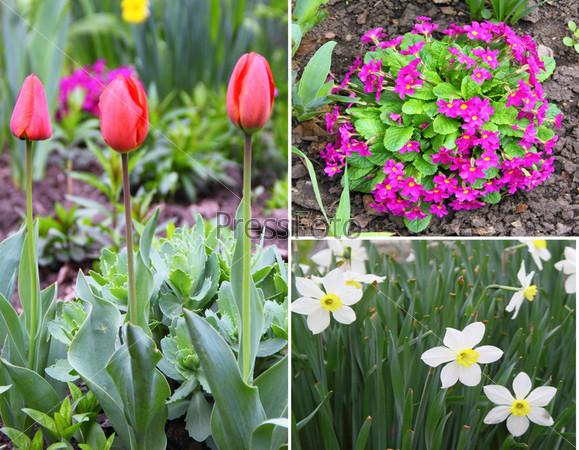 Коллаж из весенних цветов, тюльпаны, нарциссы, первоцветы