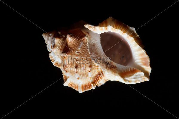 Фотография на тему Морская раковина, изолированная на черном фоне
