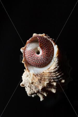 Морская раковина, изолированная на черном фоне
